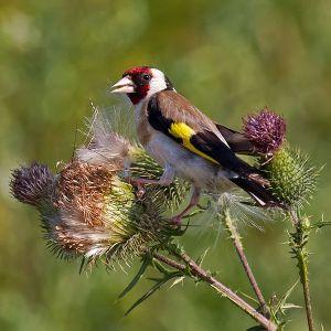 600px-European_Goldfinch